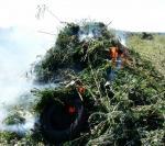 Владикавказ: уничтожение посевов конопли